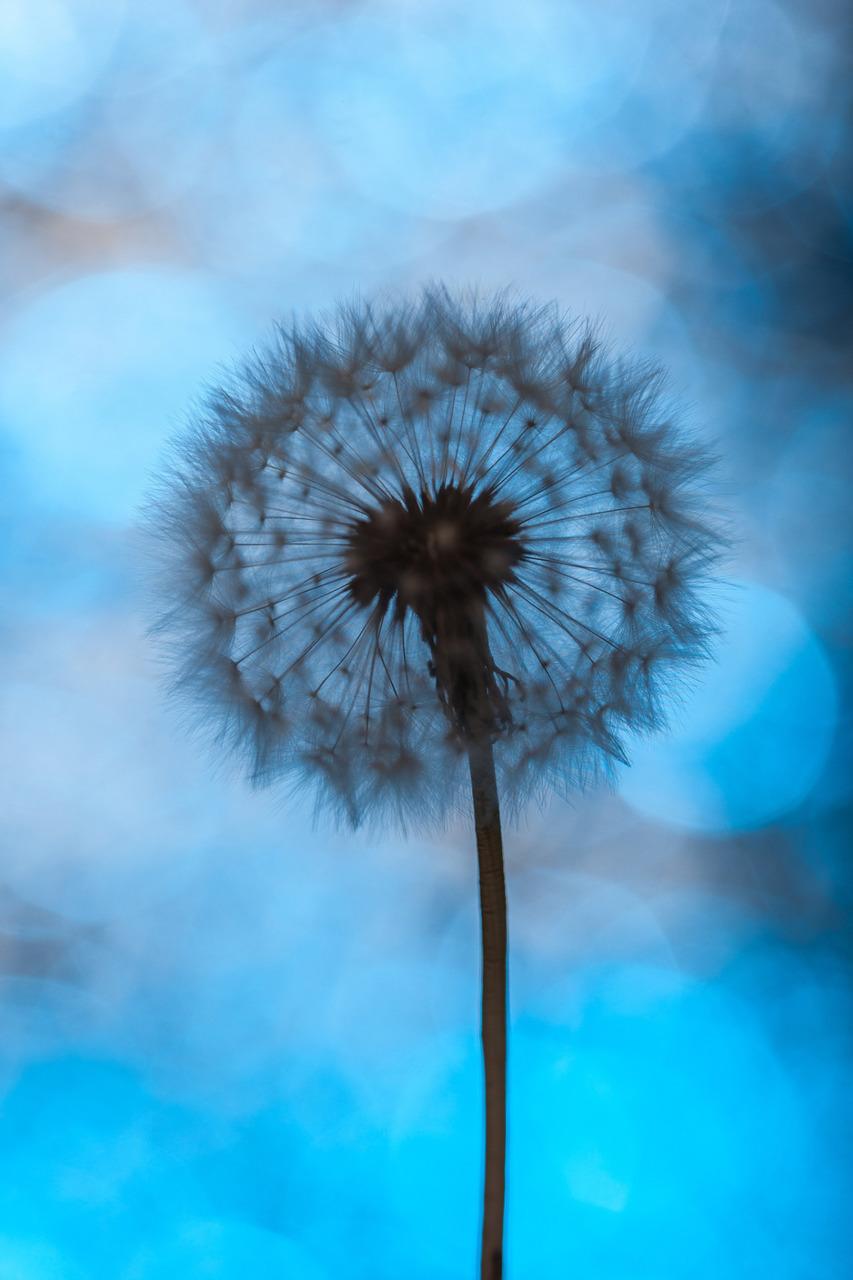 blue, dandelion, and summer image