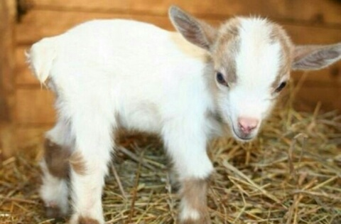 goat, cute, and animal image