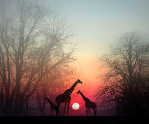 giraffe, animal, and sunset image