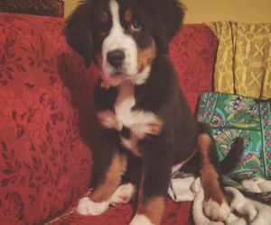 puppy, bernese mountain dog, and berner image