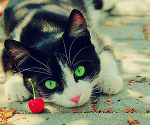cat, cherry, and animal image