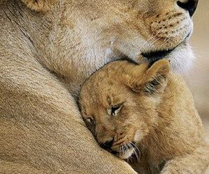 cub, love, and lioness image