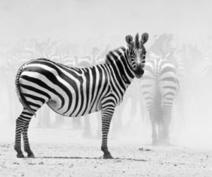 animal, zebra, and white image