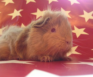 guinea pig and cavy image