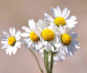 daisy, flower, and the best image