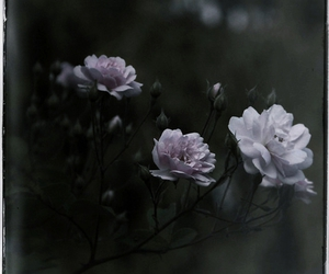 ghost, rose, and shadow image