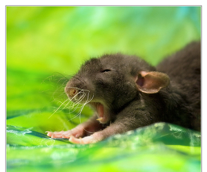 mouse, animal, and rat image