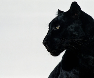 aesthetic, black, and animal image