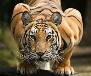animal, tiger, and free image