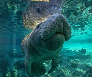 manatee and water image