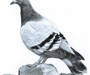 drawing, pencil sketch, and pigeon image