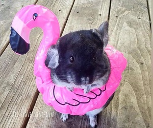 animal, Chinchilla, and cute image