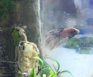 betta, fish, and lonely image