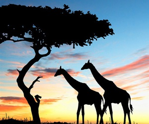 giraffe and africa image