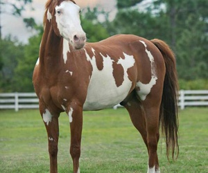 beautiful, horse, and paint image