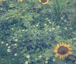 flower, pretty, and sunflowers image