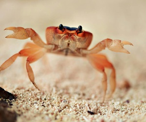 animals, crabs, and cute animals image