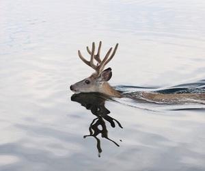deer, animal, and water image