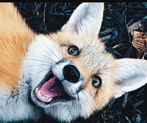 animals, foxes, and animallovers image