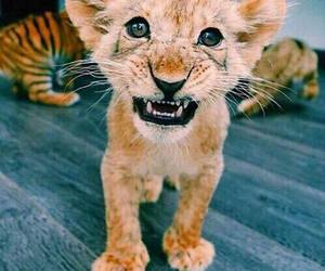 animal, lion, and tiger image