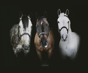 black, equestrian, and horses image