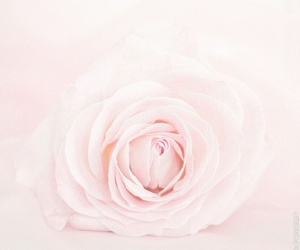 pink, rose, and cute image