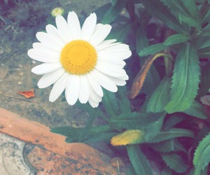 daisy, flower, and green image