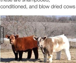funny, cows, and cute image