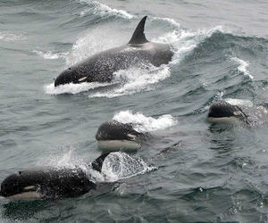 sea, ocean, and orca image