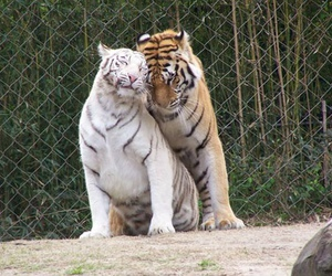 love, tigers, and animals image