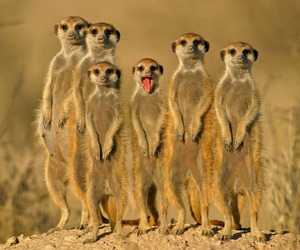 animal, meerkat, and funny image