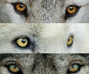 animals, wolf, and eyes image