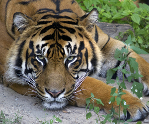 animal, tijger, and tiger image