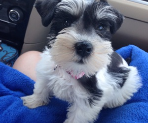 puppy, schnauzer, and cute image