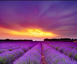 lavender, purple, and flowers image