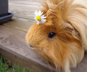 guinea pigs, cochon d'inde, and instapets image