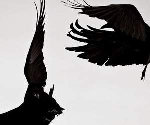 bird, black, and raven image