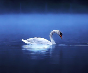 Swan, beauty, and photography image