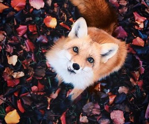 animal, fox, and autumn image