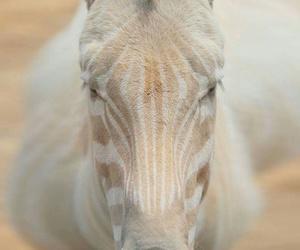 animal, zebra, and albino image