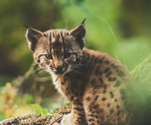 animal, cute, and lynx image