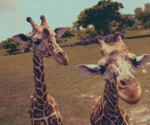 giraffe, animal, and photography image