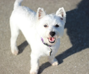 dog, happy, and west highland white terrier image