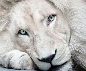 animals, lions, and wild cats image