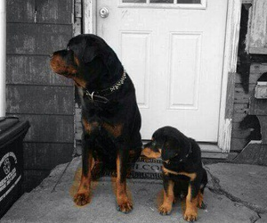black, dog, and rottie image