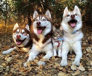 dog, cat, and husky image