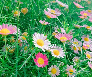 flower and common cosmos image