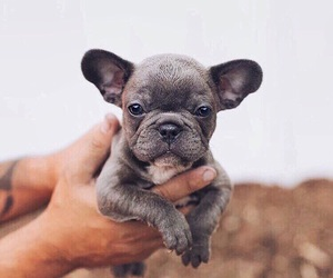 dog, grey, and puppy image