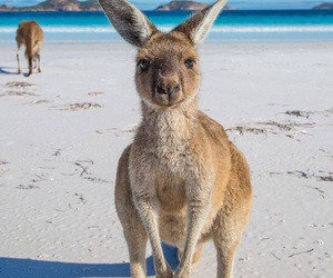 animal, kangaroo, and beach image