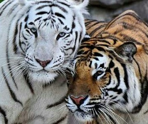 tigers image